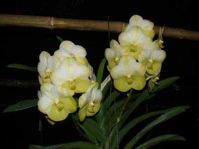 Vanda Darres Golden Heritage