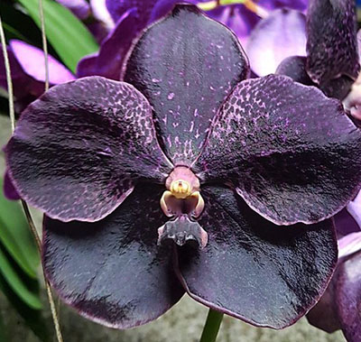 Vanda Kru Chom 'Dark Knight'