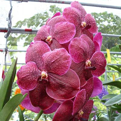 Vanda Robert Delight 'Dark Red'