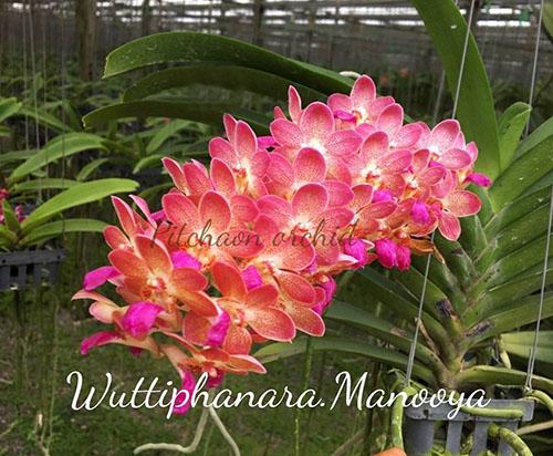 Wuttiphanara Manoonya